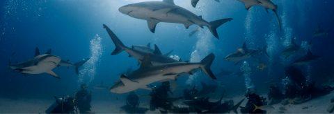 Wild Bull Shark Diving