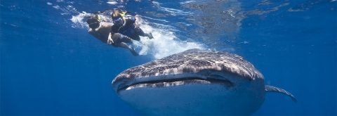 Experience Swimming & Snorkeling with Whale Sharks