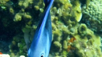 Close up on Blue tang fish in Cozumel at San Clemente reef with Maple Leaf scuba