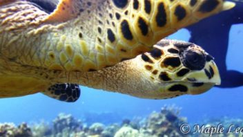 Close up of hawksbill turtle in Cozumel at Punta Tunich with Maple Leaf Scuba