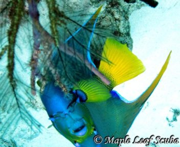 Queen angelfish diving at Palancar Horseshoe in Cozumel with Maple Leaf Scuba