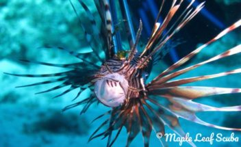 Lion Fish in Cozumel, Mexico