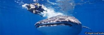 Kids whale shark snorkeling near Isla Mujeres with Maple Leaf Scuba