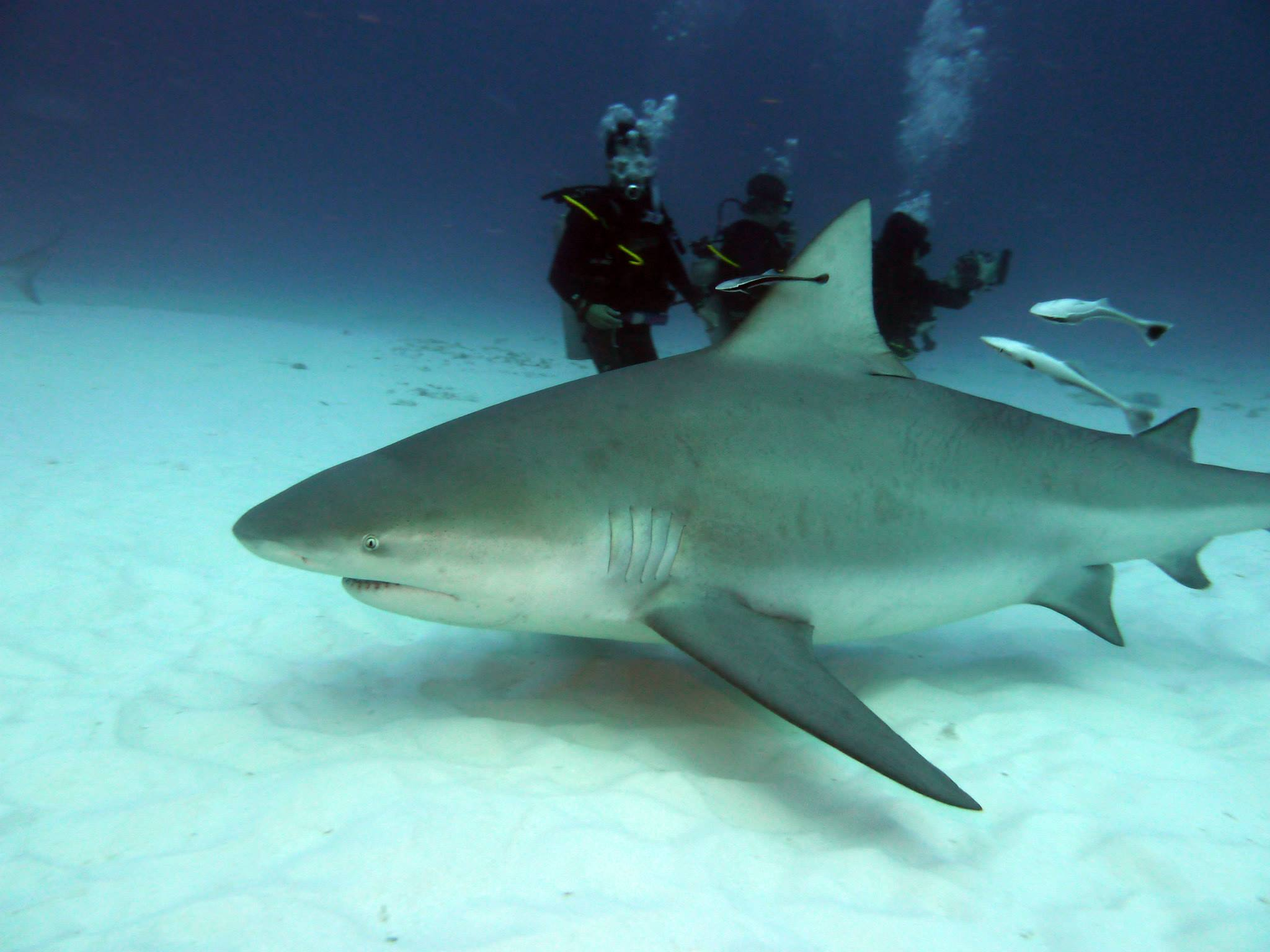Mexico bull shark diving maple leaf scuba - Dive shop mexico ...