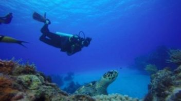 scuba diving with a hawksbill turtle in cozumel with maple leaf scuba