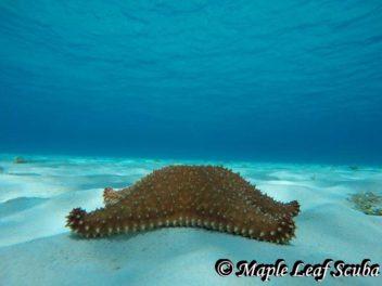 Star Fish or sea stars at El Cielo