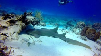 Nurse shark sleeping on a dive at yucab reef in cozumel