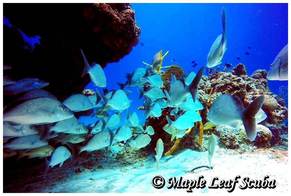school of grey snapper fish in cozumel