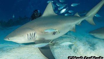 Bull shark diving in Playa del Carmen with Maple Leaf Scuba