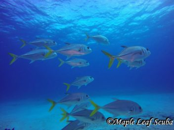 A school of Horse-eyed Jacks while scuba diving at Santa Rosa Shallows with Maple Leaf Scuba in Cozumel, Mexico