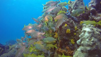 School of Grunt Fish in Cozumel