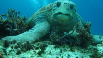 close up of loggerhead turtle at la francesa reef in cozumel