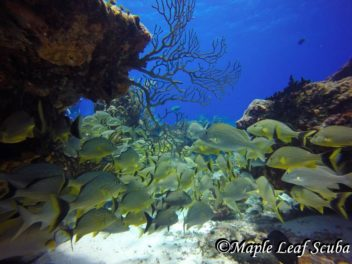 Blue Striped Grunt fish at Paso Del Cedral Reef with Maple Leaf Scuba in Cozumel, Mexico