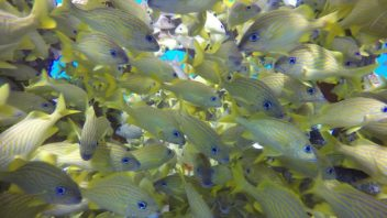 school of blue striped grunt fish at Paso Del Cedral in Cozumel