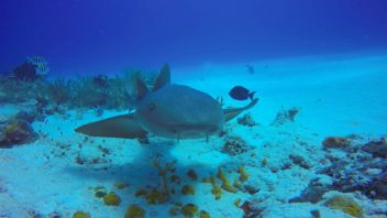 A nurse shark swimming along at Paso del Cedral in Cozumel, Mexico