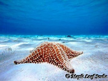 Starfish or sea star on white sand at El Cielo, Cozumel, Mexico