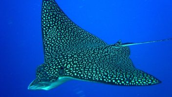 Spotted Eagle Ray at Cantarell Wall, Cozumel
