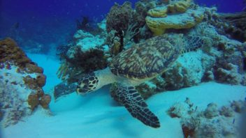 hawksbill turtle at yucab reef