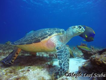 A hawksbill turtle and a queen angel fish seen while on a dive trip with Maple Leaf Scuba in Cozumel.