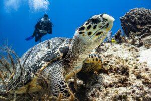Diver sees turtle